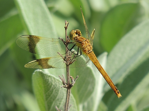 Banded Darter female